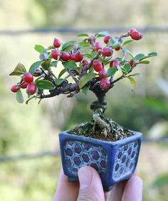 How to grow moss indoors bonsai trees 67 new ideas Bonsai Fruit Tree, Bonsai Plants, Bonsai Garden, Fruit Trees, Plantas Bonsai, Unique Trees, Small Trees, Apple Tree From Seed, Growing Moss