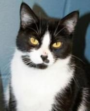 Fayola - Domestic Short Hair-black and white