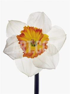 White Daffodil Photographic Print by Frank Krahmer at Art.com