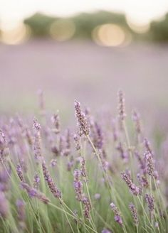 Fresh lavender is soothing and so pretty-wish this was a pic to hang in my powder room