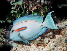 Orange Band Surgeon Fish #TropicalFishSaltwater