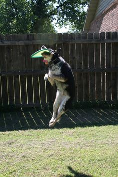 Australian Cattle Dog with frisbee