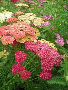 Common Yarrow 'Summer Pastels Mix' (Achillea millefolium)