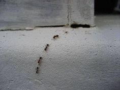 10 Ways To Kill Ants… Organically  1. Baking soda is poisonous to ants, spinkle it around your plants to ensure ants will stay away.  2. Flour & Baby Powder will keep ants from reaching your plants, ants will not cross the powder – so circle your plants with it....  3. You can use coffee grounds, chili powder, cinnamon, peppermint or black pepper. All deter ants and if you pour coffee grounds directly on an anthill, they will eat the coffee grounds and implode.  4. Grits, instant rice…