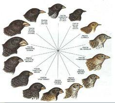 """El darwinismo es un término con el que se describen las ideas de Darwin, en relación a la evolución biológica por selección natural. Darwin expuso que el origen de las distintas especies de seres vivos eran transformaciones de otras especies preexistentes. Darwin fue el primero en interpretar la """"evolución"""" como un proceso mediante el cual  la selección natural determina la preexistencia o la desaparición de los individuos. Viajó a las Islas Galápago para ver el tamaño de pico de los…"""