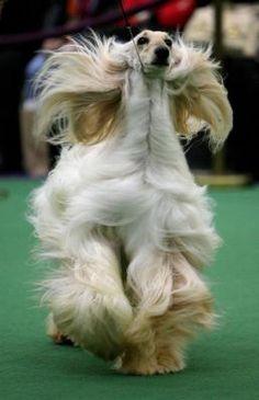 Westminster dog show - UPI.com