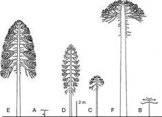 Image result for araucaria araucana development
