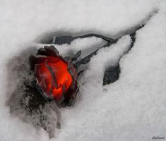 Forged Rose In The Snow