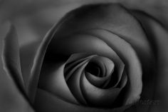 A Rose Photographic Print by Robert Llewellyn at AllPosters.com
