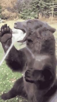 bear, enjoying, water GIF