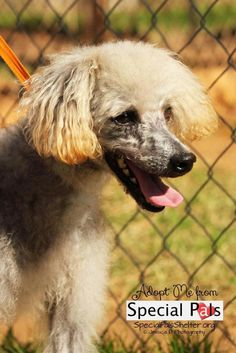 Jack/Poodle • Senior • Male • Medium Special Pals Animal Shelter Houston, TX Hello My Name is Jack. My owners turned me in when they moved out of the country. I love smaller dogs; it's the bigger ones that annoy me. I'm a poodle/schnauzer mix