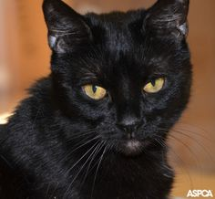 Meet our stunning Pet of the Week - Avril! This gorgeous black cat is a little shy, but once she adjusts she comes out of her shell. This kitty also has asthma, but it's easy to treat and requires a non-smoking home. Take Avril home today: www.aspca.org/blog/aspca-pet-week-avril