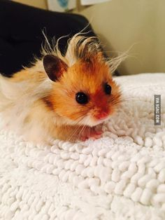 Baby hamster has a bad hair day.                                                                                                                                                                                 More