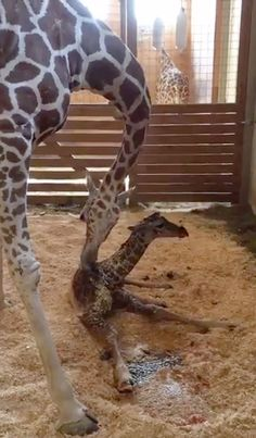 April the Giraffe and her newborn son, 15 April 2017.