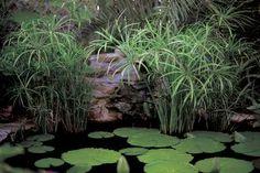 Umbrella Palm/Dwarf Papyrus (Cyperus Alternifolius). www.containerwatergardens.net/water-garden-plants