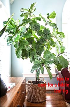 tips to care for a fiddle leaf fig.