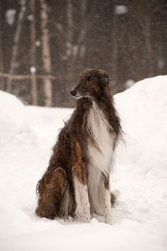 One does not simply see a borzoi in the snow and not see absolute beauty!!!