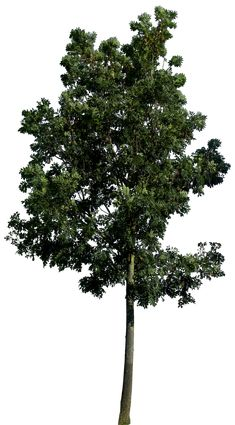 Tree 58 png HQ by gd08.deviantart.com on @deviantART
