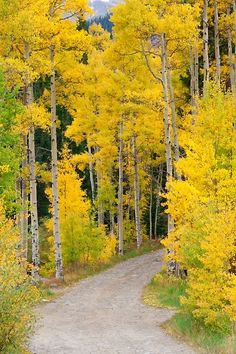 Colorado Road in the Aspens Forest Road, Tree Forest, Beautiful World, Beautiful Places, Autumn Scenes, Aspen Trees, Foto Art, Mellow Yellow, Best Photographers