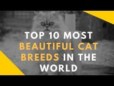 Top 10 Most Beautiful Cat Breeds In The World All Dogs, Best Dogs, Large Cat Breeds, World Cat, Exotic Shorthair, Abyssinian, Best Dog Breeds, Scottish Fold, Most Beautiful Cat Breeds
