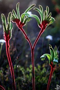 Kangaroo paw  is so cool