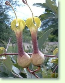 Ceropegia is a genus of plants within the family Apocynaceae. Weird Plants, Unusual Plants, Rare Plants, Exotic Plants, Tropical Plants, Strange Flowers, Unusual Flowers, Rare Flowers, Amazing Flowers