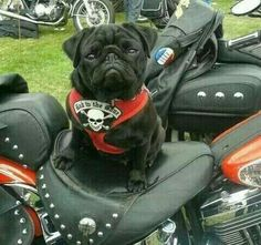 """""""I'm taking the hog out today.""""   www.jointhepugs.com   #PugPower #PugLife #PugsofInstagram"""