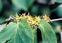 How To Make Witch Hazel Astringent  You need, leaves and bark of the North American Witch-hazel shrub (Hamamelis virginiana)