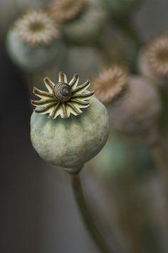 / Poppy Seed Head