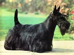 Scottish terrier..we had these when I was a kid..