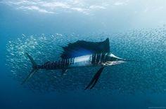 """Eppure l'arrotino aveva detto che oggi sarebbe passato...""  #Swordfish #seanimals #pescespada"