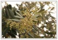 I fiori dell'ulivo.
