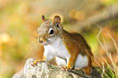 Cute red squirrel closeup by Elena Elisseeva on 500px