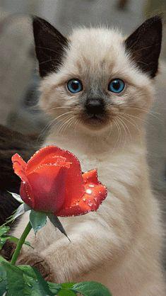 Анимация - Голубоглазая кошка