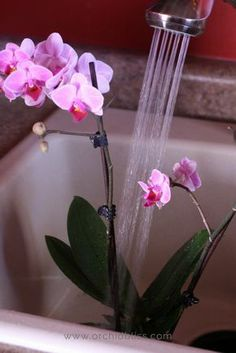 Gardening Flowers How to Water Orchids: Find out properly water your orchids - Orchid Bliss - Knowing when and how to water orchids is the most important key to being a successful orchid grower. Learn how often to water orchids indoors. Orchids In Water, Indoor Orchids, Orchids Garden, Garden Plants, Indoor Plants, House Plants, Water Culture Orchids, Roses Garden, Garden Soil