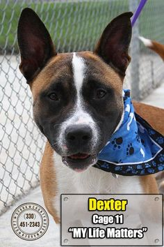 Meet 11 Dexter, a Petfinder adoptable Pit Bull Terrier Dog | Canton, OH | Release date 7/3.   Dexter is one handsome dog!  Not sure what breed of dog he is mixed with, but...