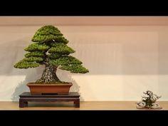Weeping Willow Bonsai Tree - Species Guide | BonsaiDojo - Bonsai Tree Care Guide