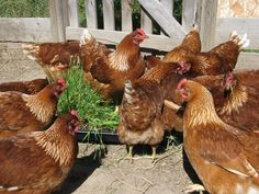 Fodder - it's easy to grow and you can feed chickens all winter long by growing your own grains. Here's how to grow your own fodder.
