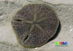 Keyhole sand dollar (Echinodiscus sp.) | Upperside of living… | Flickr - Photo Sharing!
