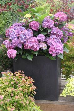 Show-Stopping Purples - 29 Ways to Grow Hydrangeas in Containers - Southernliving. Keep your container simple while your hydrangeas take center stage. Stick with a monochrome planter below when you have blooms in vibrant purple and pink hues above.  See the Idea