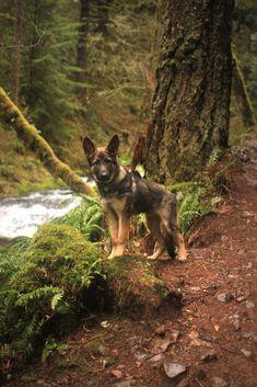 baby german shepherd pup out in the woods #germanshepherd