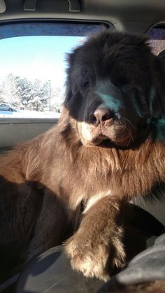 Of course I ride in the front seat! #NewfoundlandDog