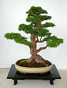 rs bonsai quercus macrolrpis wallonen eiche arkadische eiche 017 bonsai trees pinterest. Black Bedroom Furniture Sets. Home Design Ideas