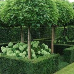 This is Fascinating Evergreen Pleached Trees for Outdoor Landscaping 26 image, y. This is Fascinating Evergreen Pleached Trees for Outdoor Landscaping 26 image, you can read and see Back Gardens, Small Gardens, Formal Gardens, Outdoor Gardens, Outdoor Trees, Courtyard Gardens, Formal Garden Design, The Secret Garden, Outdoor Landscaping