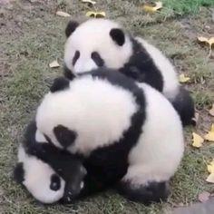 Cute Panda Baby, Baby Panda Bears, Baby Animals Super Cute, Cute Baby Dogs, Panda Love, Cute Little Animals, Cute Funny Animals, Cute Babies, Baby Animals Pictures