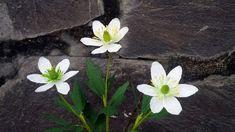 Cómo hacer la flor de papel Anemone Nemorosa de papel Crepe - Tutorial d...