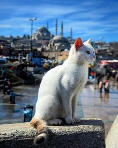Istanbul photoshoot ideas / Istanbul photoshoot photography / Istanbul background / Istanbul mosque / Istanbul white cat / Turkish cat / cats of Turkey - Tap the link now to see all of our cool cat collections! I Love Cats, Crazy Cats, Cool Cats, Animals And Pets, Cute Animals, Gato Grande, Son Chat, Gatos Cats, Curious Cat