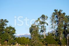 Large Macrocarpas are a common sight in rural New Zealand. Image Now, New Zealand, Royalty Free Stock Photos