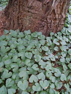 Garden Plant Collections | Asarum caudatum | San Francisco Botanical Garden