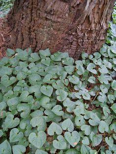 Garden Plant Collections | Asarum caudatum | San Francisco Botanical Garden
